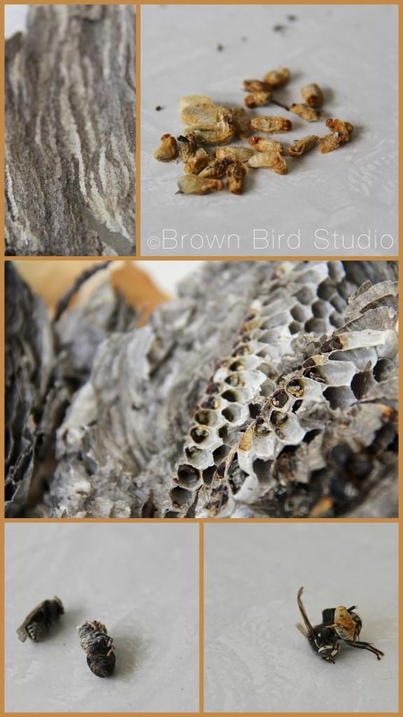 wasp nest details