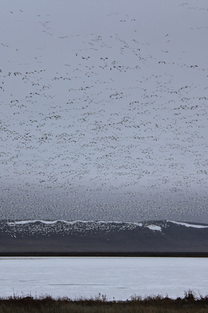 Snow Geese Lifting off from the surface of Freezeout Lake